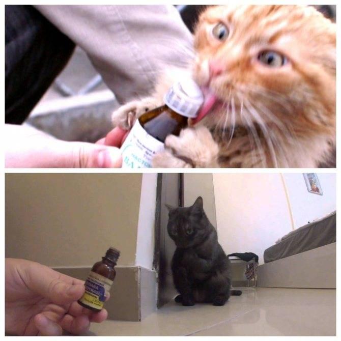 Почему коты и кошки любят валерьянку, как она действует