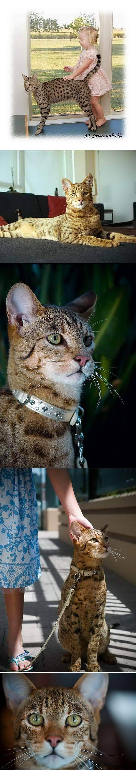 Большие кошки: обзор крупных пород