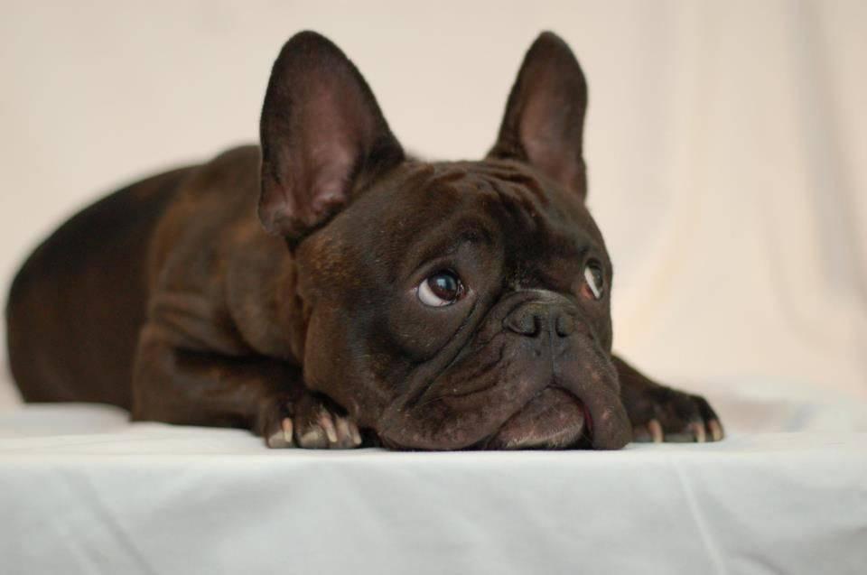 Продолжительность жизни собаки породы французский бульдог