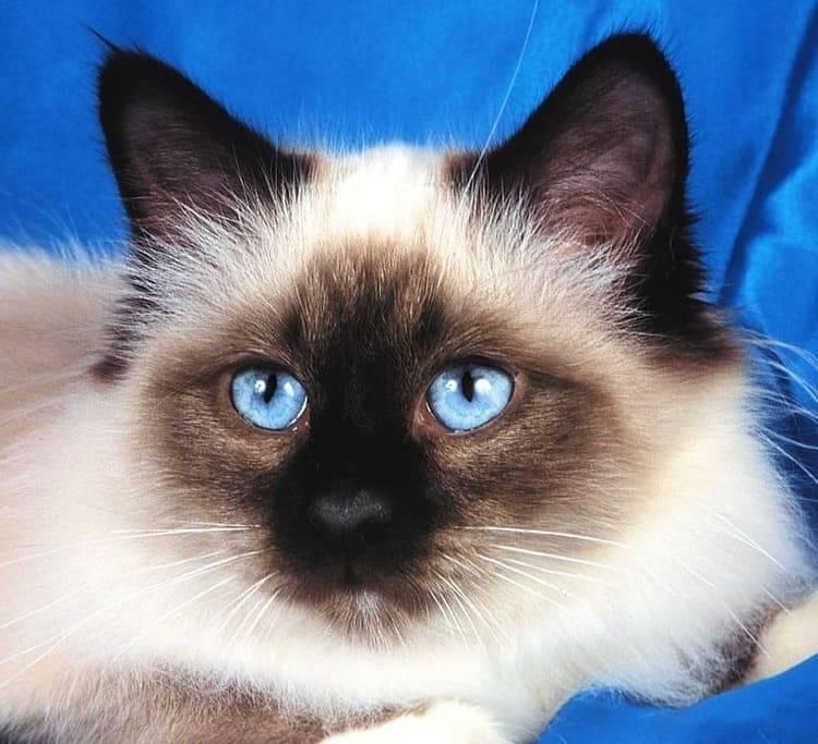 Фото пушистой сиамской кошки