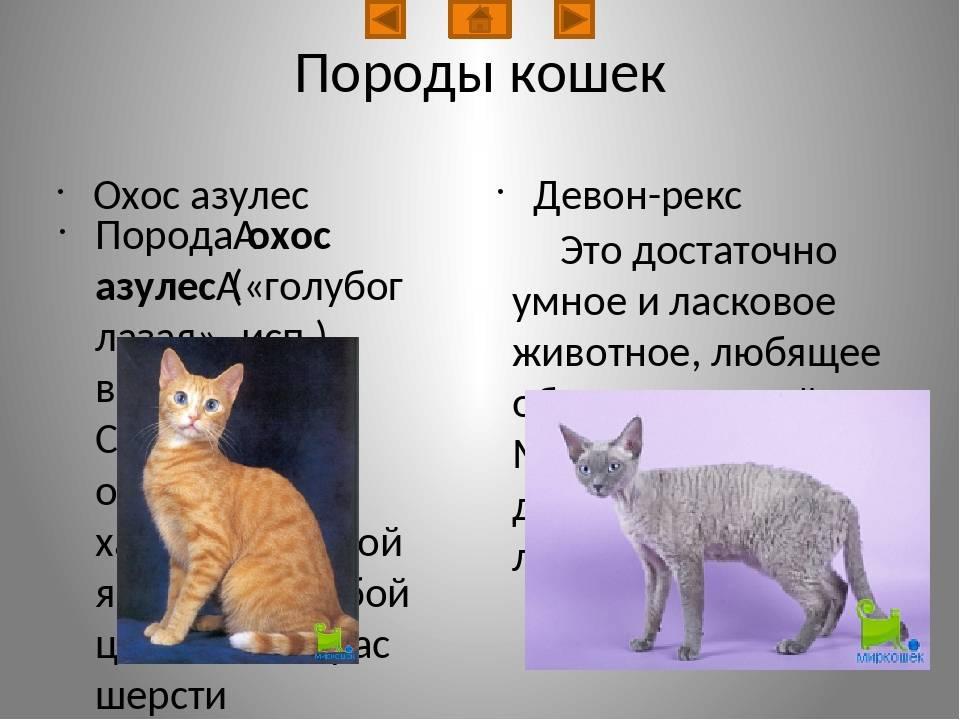ᐉ охос азулес - описание пород котов - ➡ motildazoo.ru