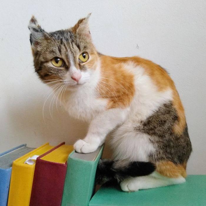 Трехцветная кошка - счастье в доме