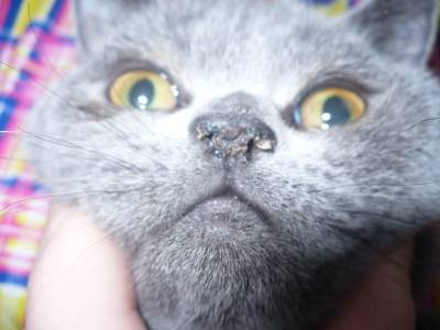 Сухой нос у кошки: причины и что делать