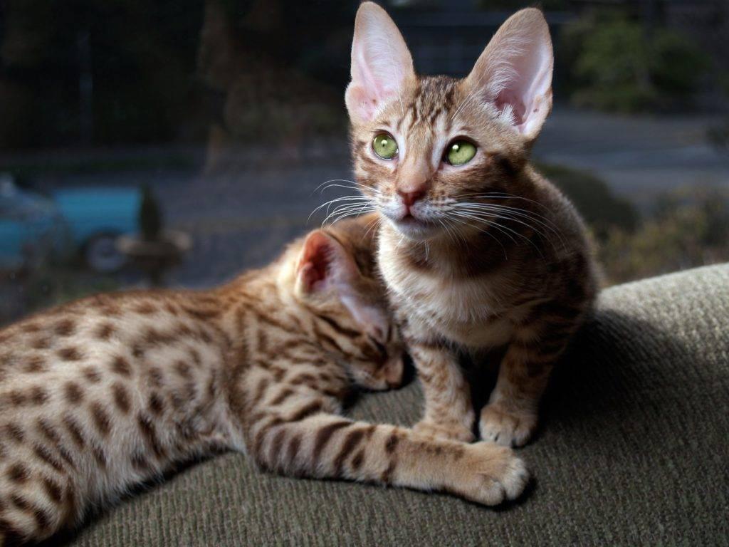 Оцикэт кошка: подробное описание, фото, купить, видео, цена, содержание дома