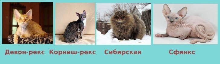 Топ 10 пород кошек, на которых нет аллергии, выбор кота для астматика или аллергика