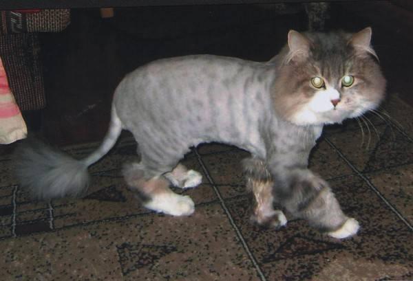 У кошки обвис живот — что могло стать причиной изменения внешнего вида питомца?