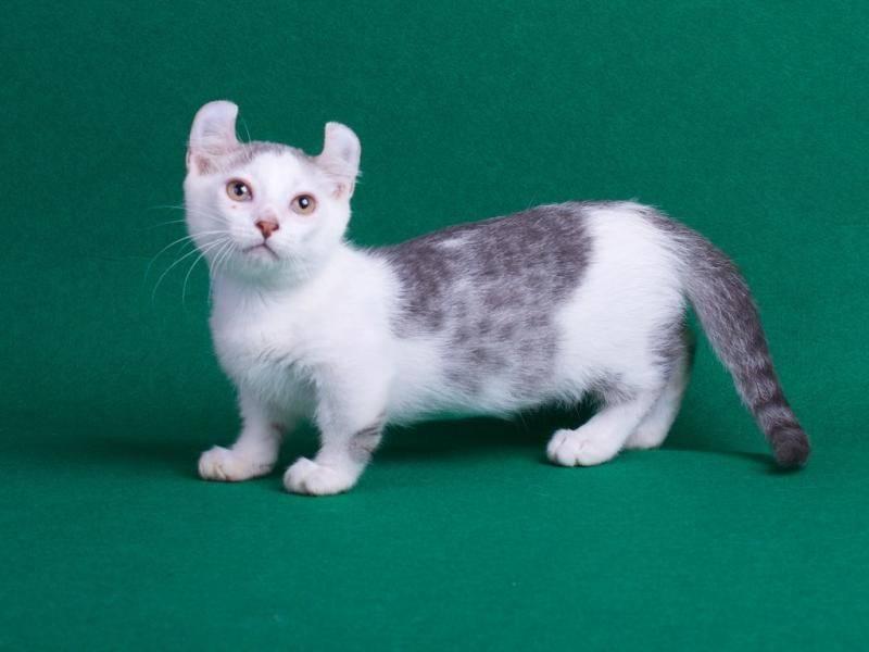 Породы кошек с маленькими ушами