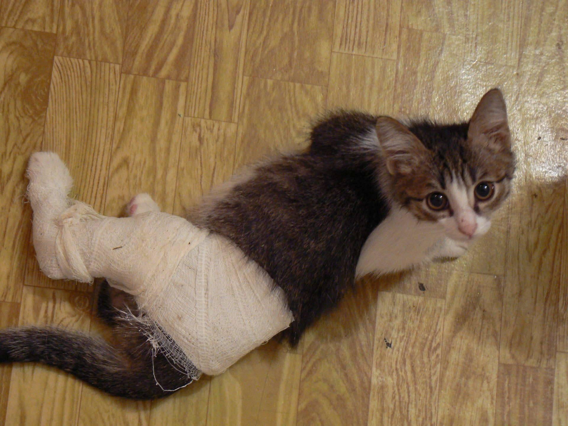 Перелом лапы у котенка лечение в домашних условиях