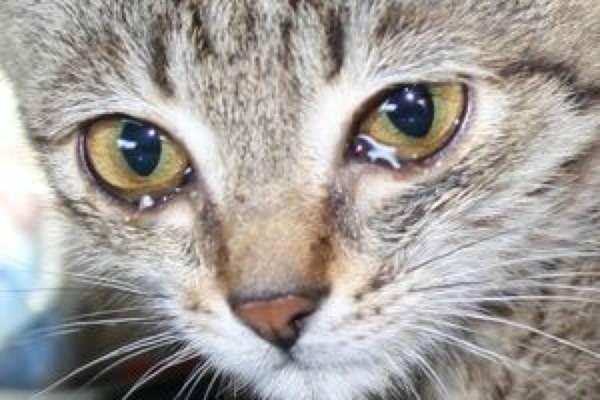 У кошки слезится один глаз: причины, что делать, чем лечить?