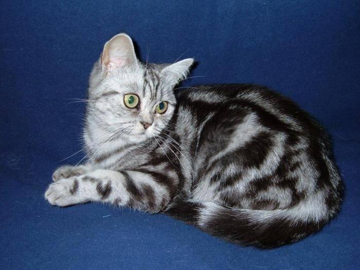 Варианты окрасов табби у различных пород кошек: черный, коричневый и другие цвета