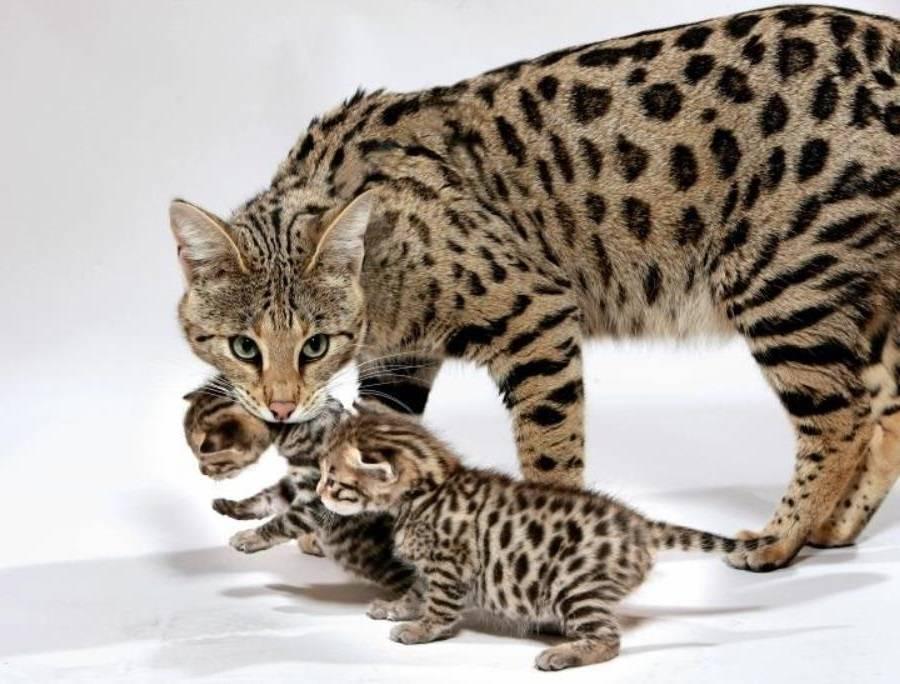 Редкие породы кошек с фотографиями и названиями: какие виды самые уникальные?