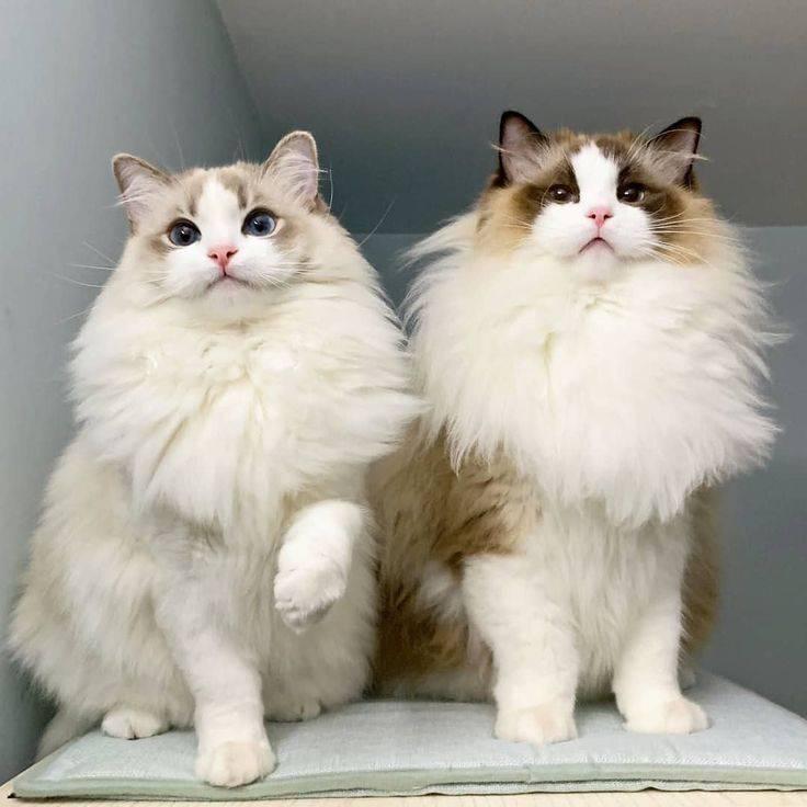 Порода кошек рэгдолл - все тонкости содержания добродушного питомца