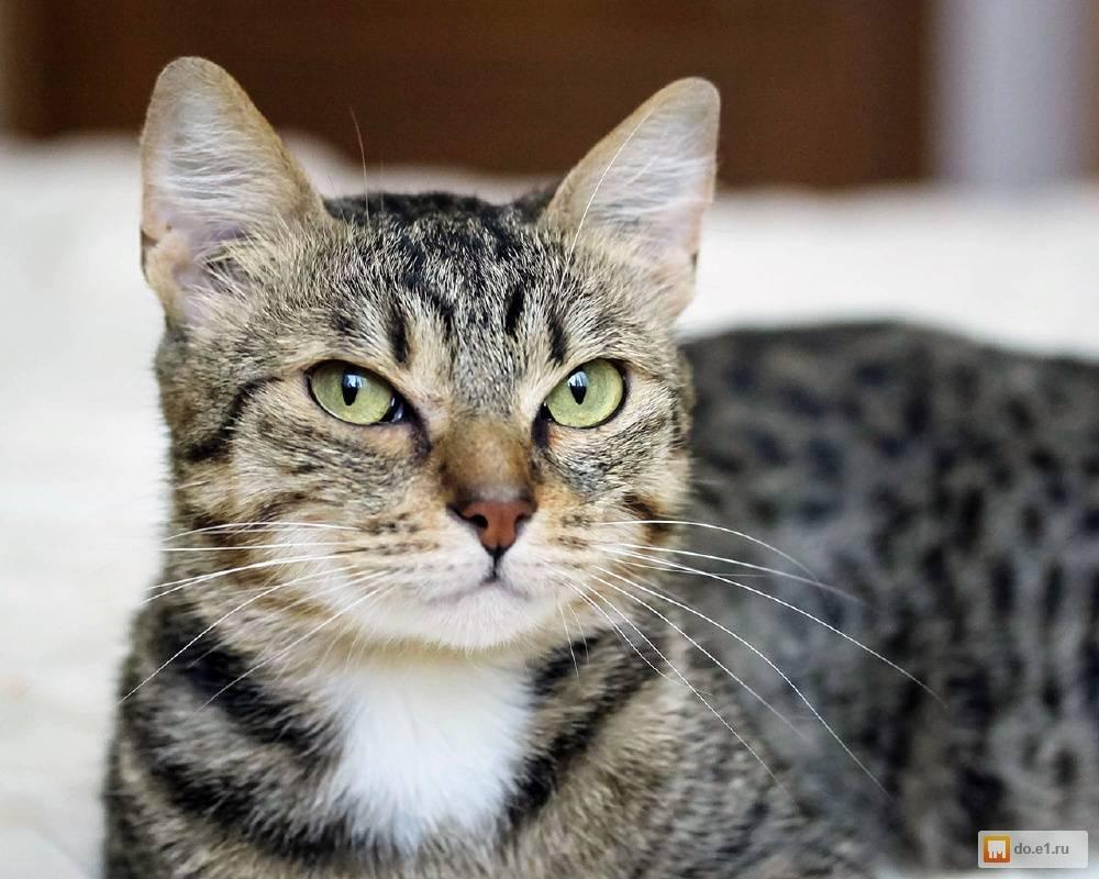 Порода кошек египетский мау: как ухаживать за питомцем