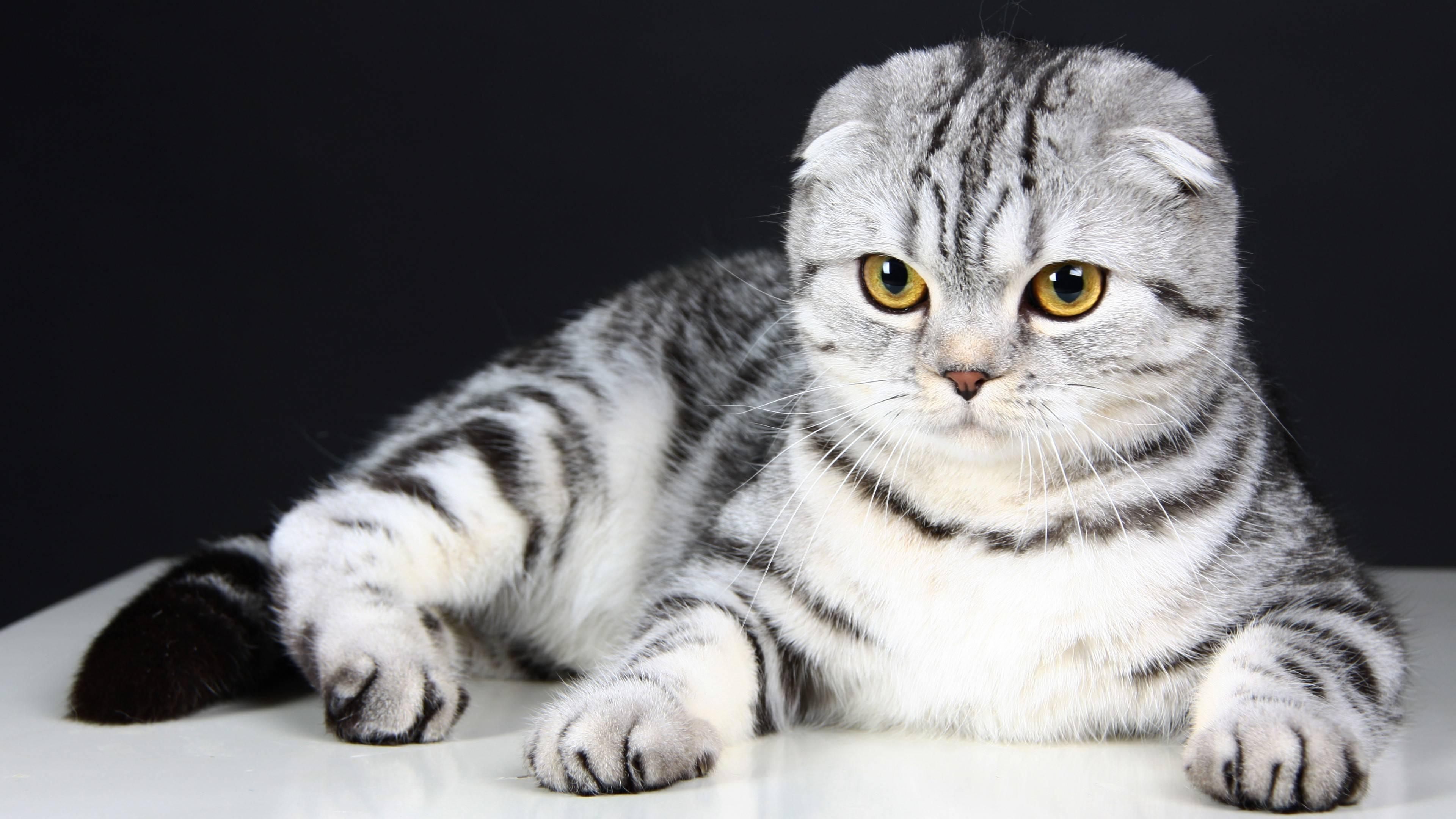 Что собой представляет шотландская вислоухая кошка: характер и поведение, описание породы, требования в уходе