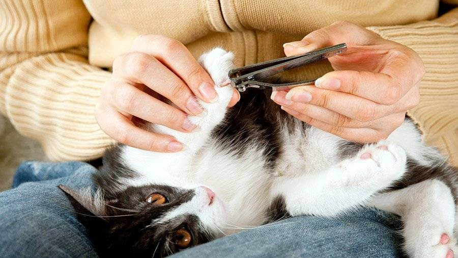 Как ухаживать за котенком и взрослой кошкой? как правильно чистить уши кошке в домашних условиях? правила ухода за котами разных пород