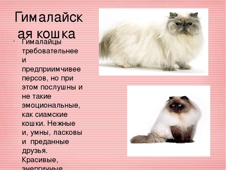 Cомалийская порода кошек: 45 фото, описание, стоимость котенка