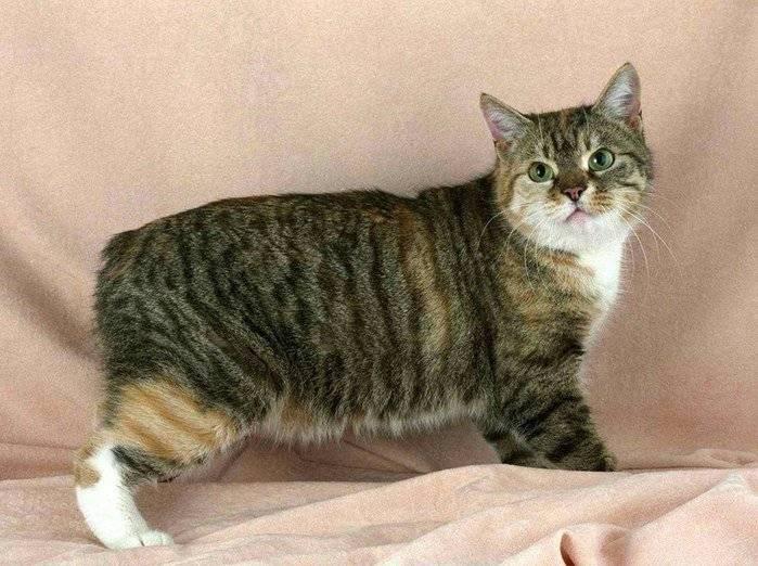 Мэнкс (порода кошек): особенности и описание вида, характер, правила содержания и прочие аспекты с фото