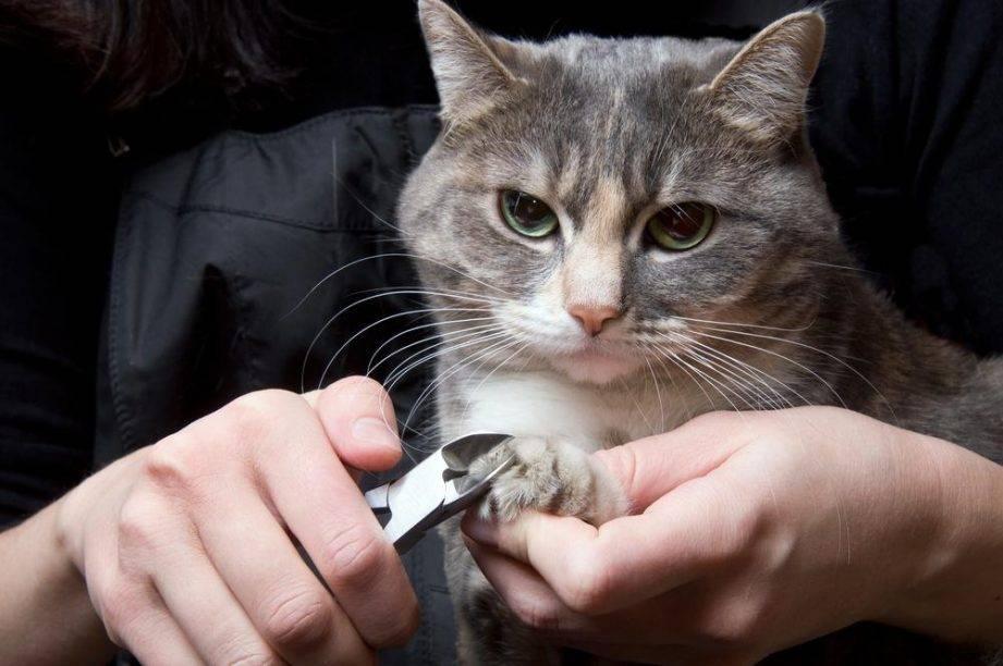 Как подстричь ногти кошке. как подстричь кошке когти в домашних условиях. процесс стрижки когтей