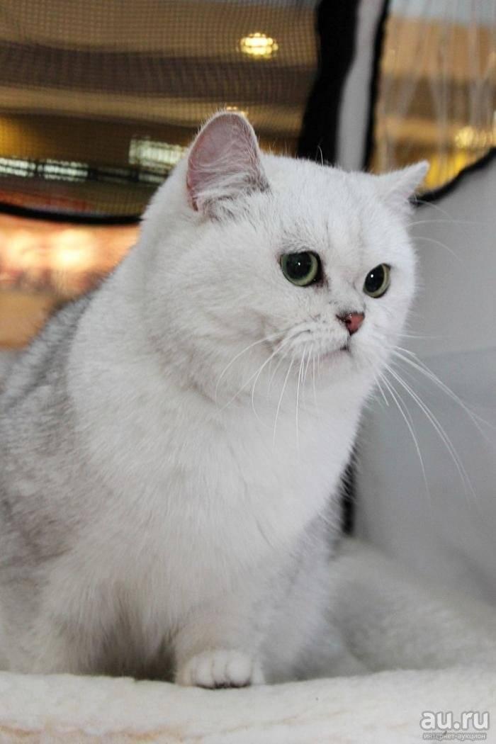 Серебристая шиншилла кошка – верх красоты и аристократизма