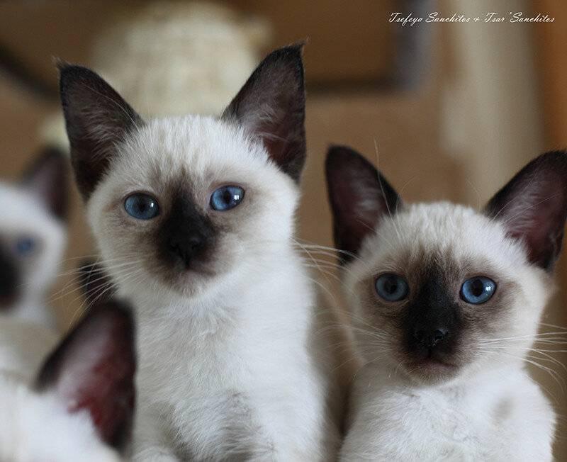 Отличия сиамской кошки от тайской (25 фото): чем они отличаются во внешности? различия котов в характере