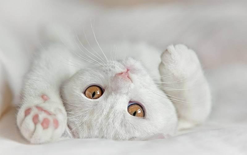 Глаза британских кошек. цвет глаз у британских котят