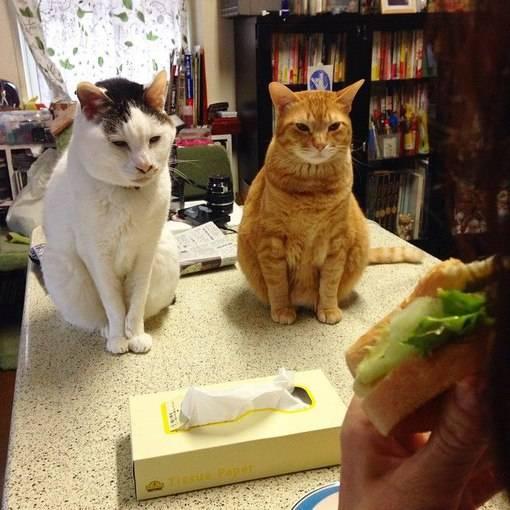 Как откормить кота: эффективные методы набора веса