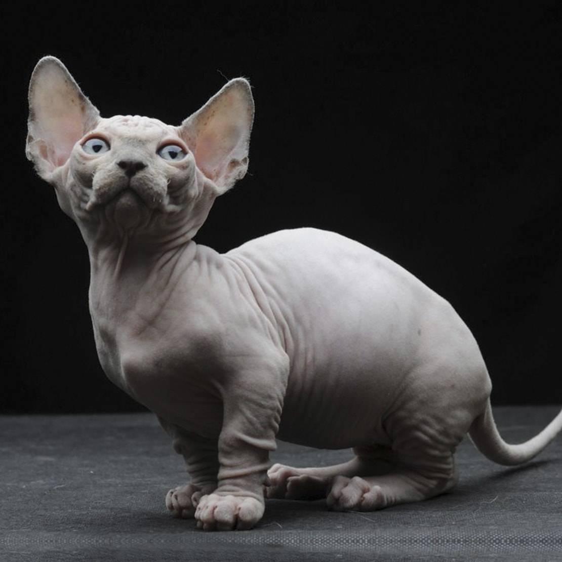 Кошки бамбино: история, цена, фото, отзывы владельцев