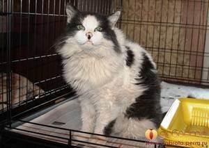 Панкреатит у кошек:причины, симптомы, лечение