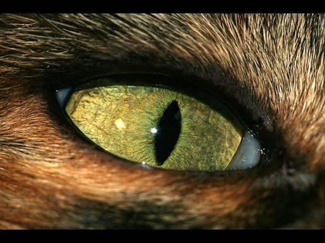 Почему кошке нельзя смотреть в глаза: фото, видео, мистика и ответ