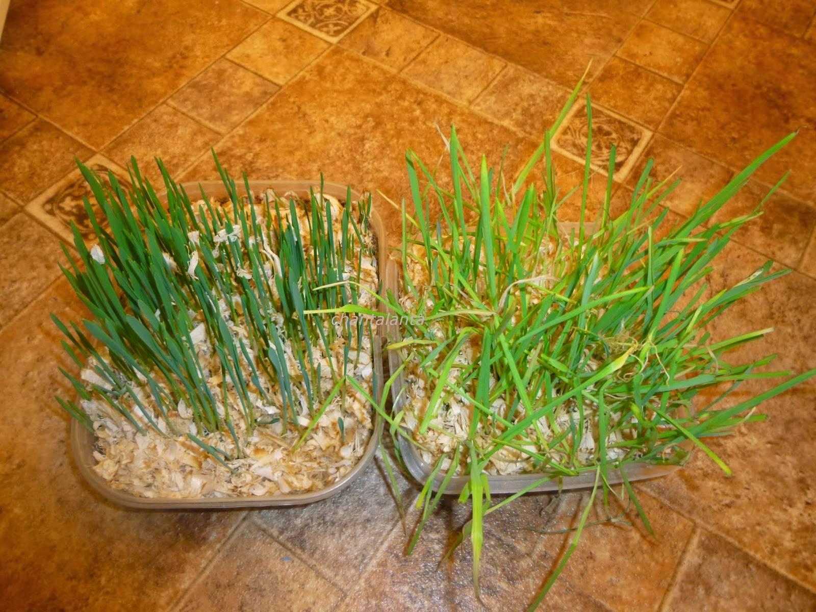 Трава для кошек: нужно ли кошке есть траву и с какого возраста начать давать?