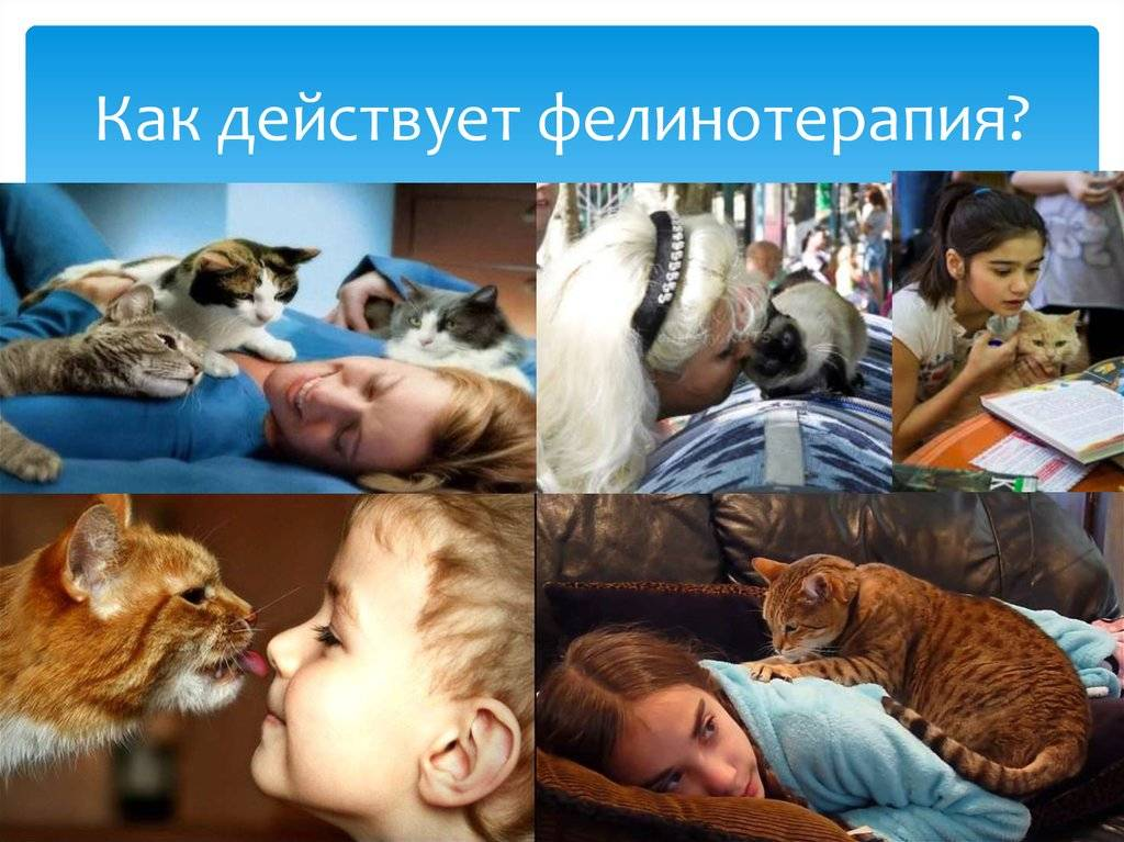Кошки лечащие людей (фелинотерапия): правда или миф?