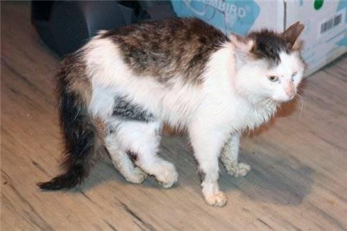 Перелом хвоста у кошки: симптомы и лечение, что делать