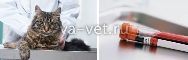 Анемия у кошек: симптомы и лечение