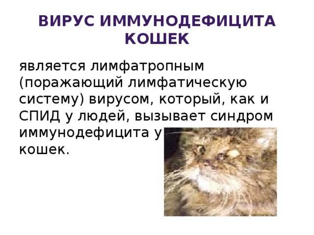 Вирусный иммунодефицит кошек анализ крови