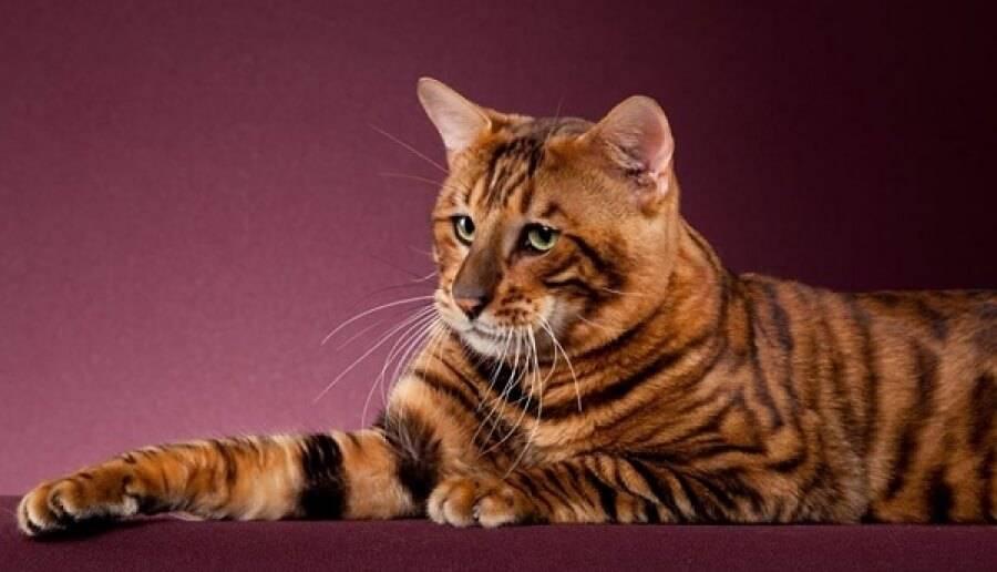 Тигровая кошка — особенности породы