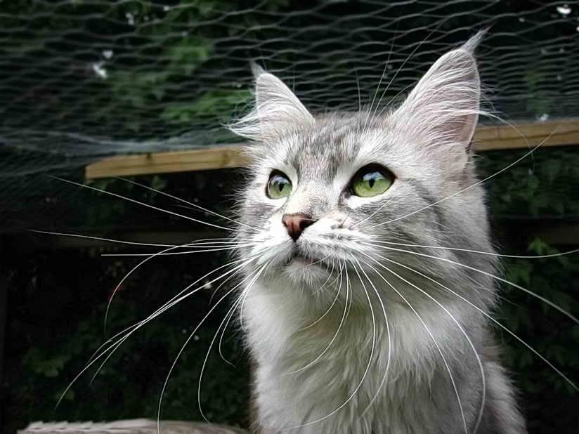 Что такое вибриссы и зачем они кошке? усы кошки – осязание вибриссы у кота