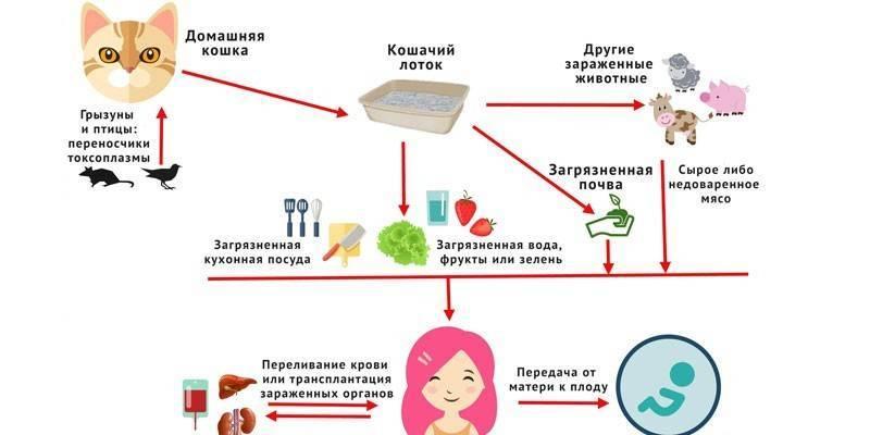 Как передается токсоплазмоз: кошачий паразит в организме человека