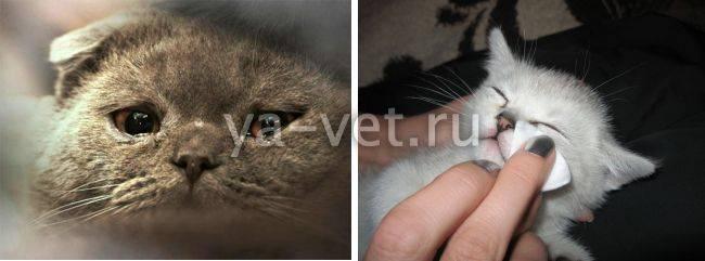 Кошка чихает и слезятся глаза: основные причины, чем лечить в домашних условиях
