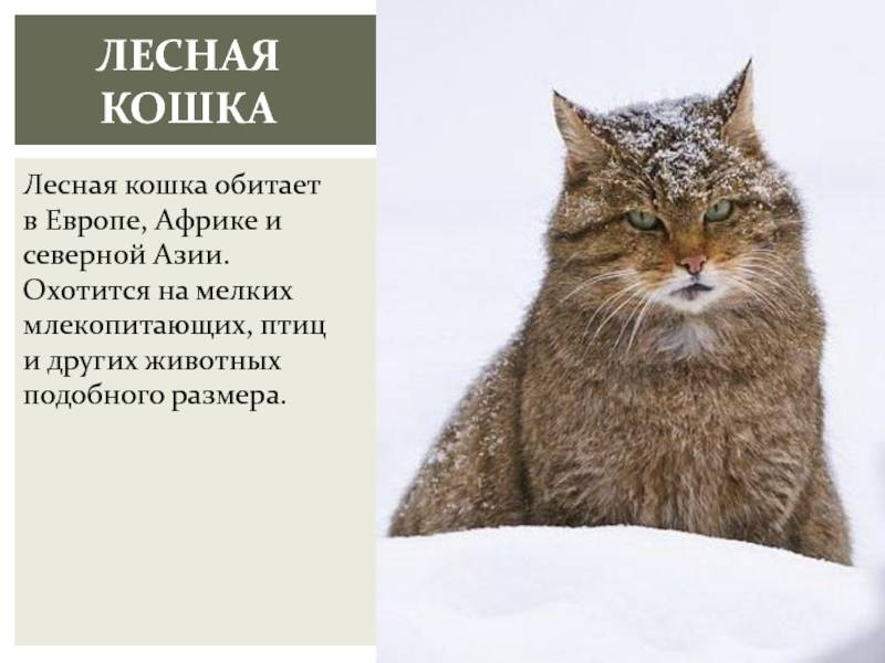 Дикий лесной кот: древний хищник в домашних условиях