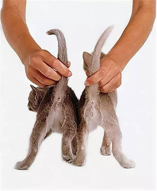 Как определить пол котенка, учимся отличать кота от кошки (+фото)