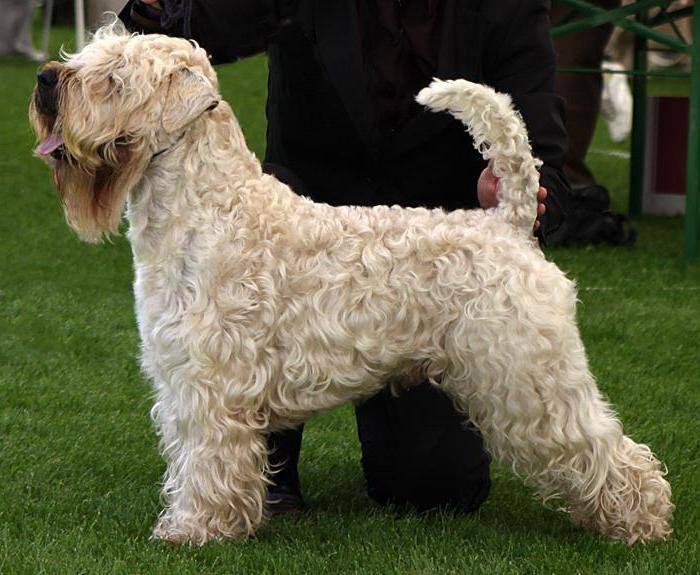 8 пород собак, которые не линяют и не пахнут