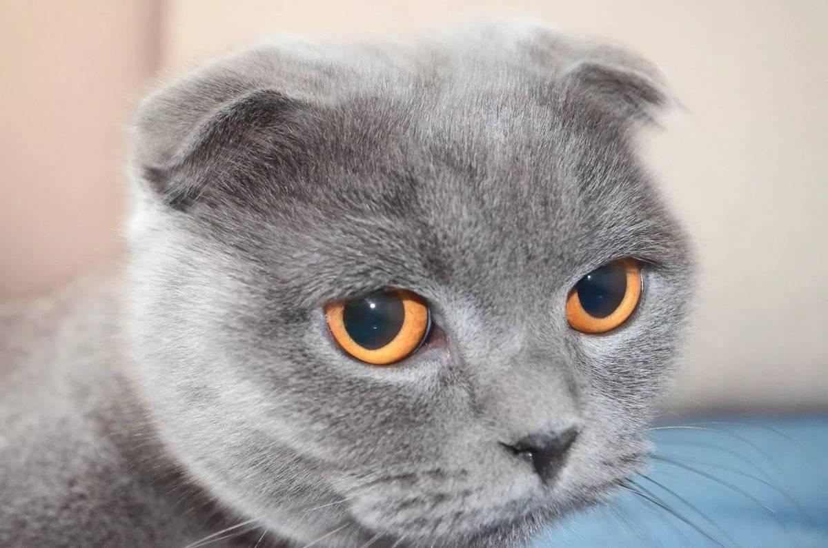 Британская порода кошек: история, внешние особенности, характер, советы по содержанию и уходу, фото британцев