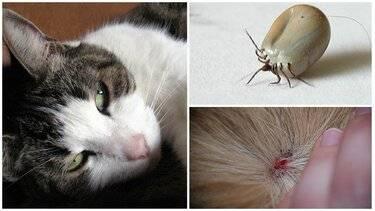 Клещи у кошек и котов - что делать, как вытащить, опасны ли - чем обработать и защитить животное от укусов - симптомы на сайте лапы и хвост