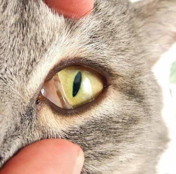 Гноятся глаза у котенка: чем лечить и как промыть в домашних условиях