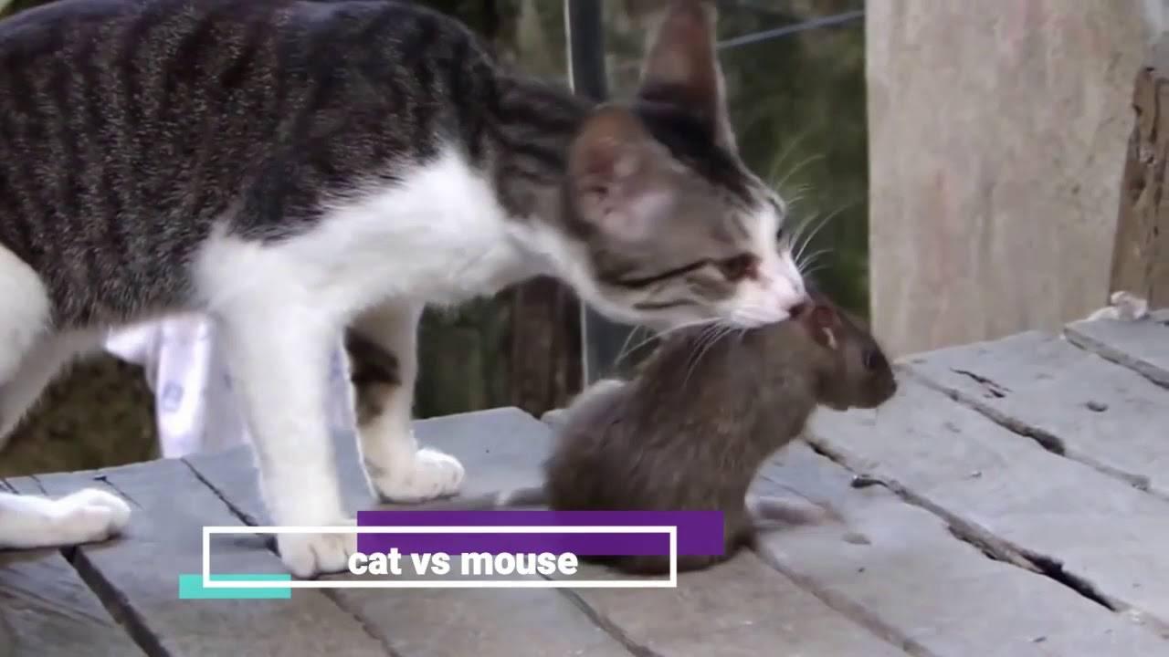Эффективное средство от мышей в доме и квартире