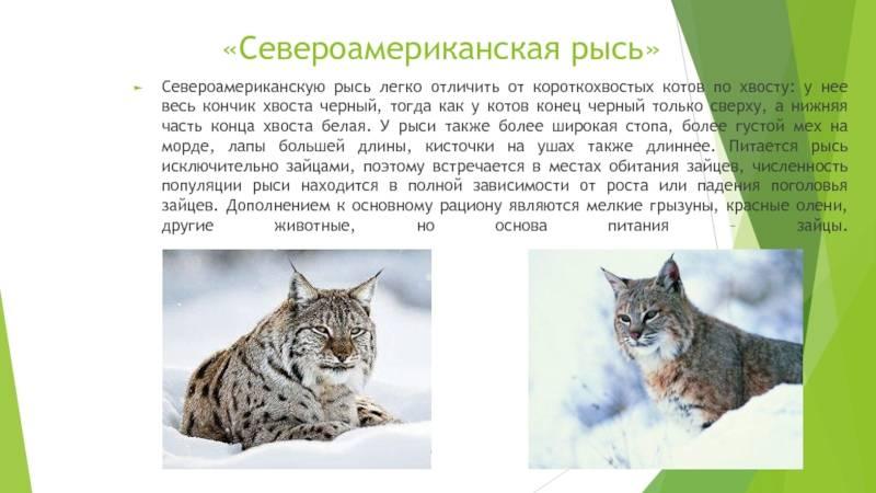 Личный питомник: разведение кошек в домашних условиях – что понадобится для производства котят