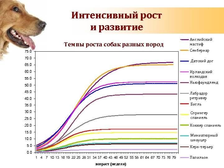 Сколько живут немецкие овчарки: продолжительность жизни в домашних условиях и на улице, а также как определить количество лет