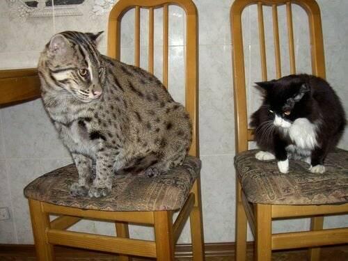 Все тайны виверрового кота-рыболова