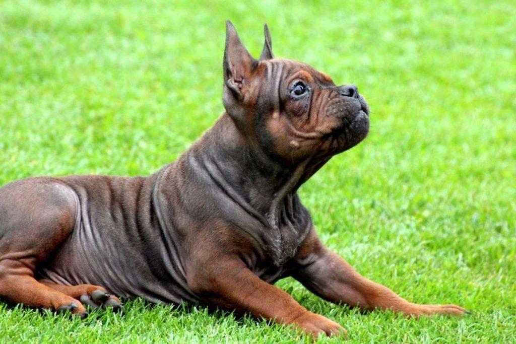 Чунцин собака