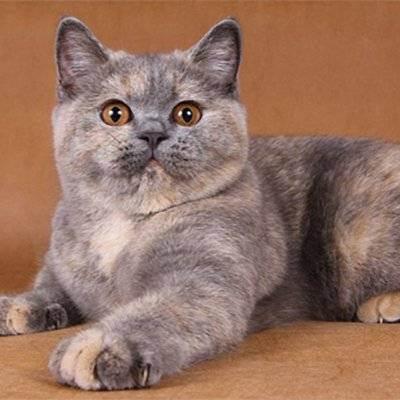 Вязка шотландских кошек